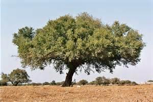 argan plant picture 3