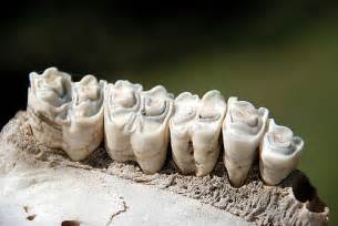 bovine teeth picture 6