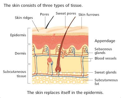 functions of the skin picture 19