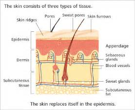 functions of the skin picture 18