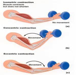 and isotonic muscle contraction picture 5