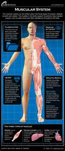 how the muscle system works picture 2