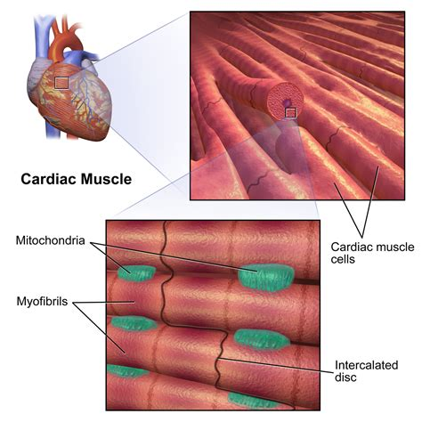 cardiac muscle picture 15