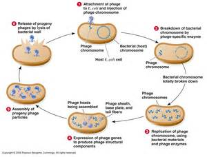 the different stages of bacterial infection picture 7