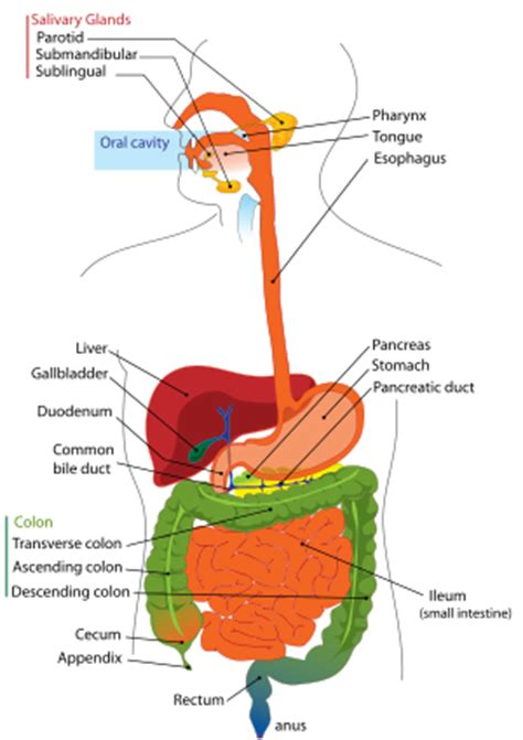 digestion tract picture 13