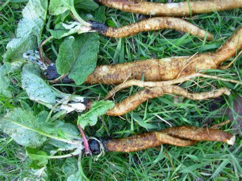 burdock root picture 10