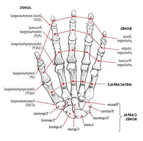 bones joints picture 7