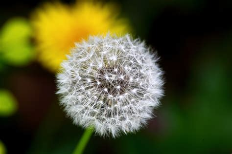 dandelion flower pictures picture 1