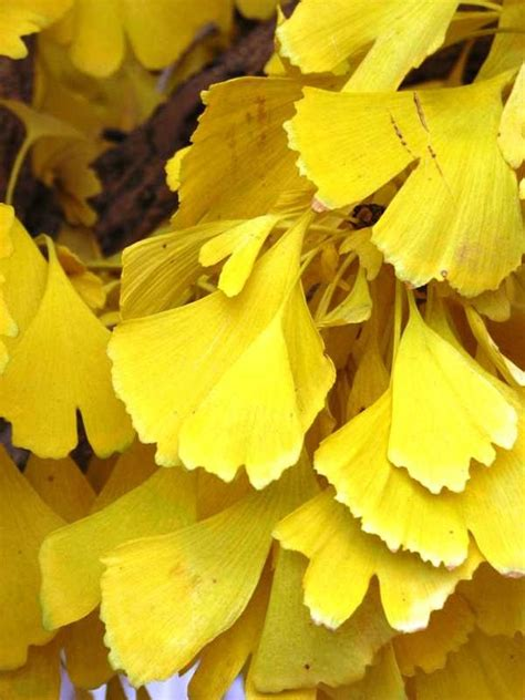 ginkgo biloba tree root system picture 7