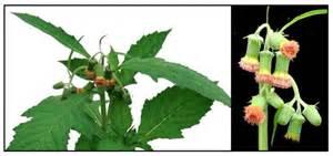 herbal medacine picture 14