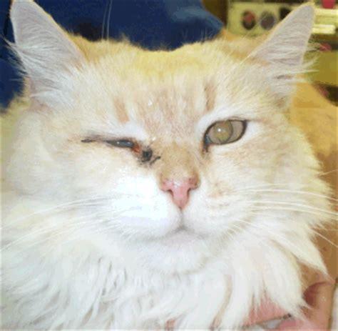 feline herpes conjunctivitis picture 17