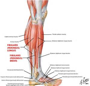 lateral lower leg muscle picture 5