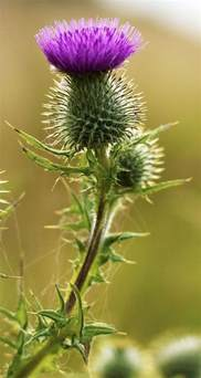 thistle picture 5