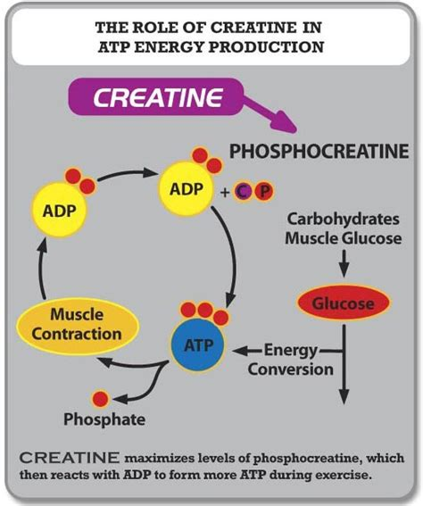 does creatine help to get better erections picture 2