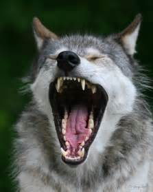 wolf teeth picture 10