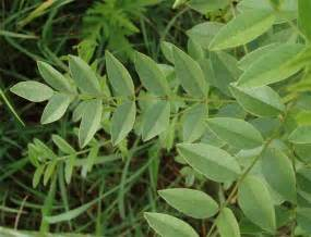 care for licorice plant picture 5