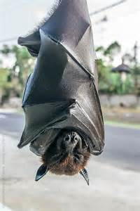 pictures of vampire bats sleeping picture 9
