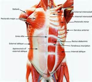 anatomy - muscle man kikkerland picture 15