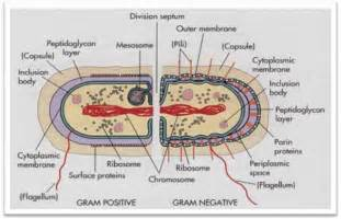 what is bacterial v picture 17