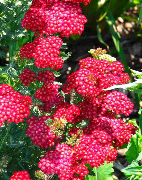 cut back yarrow picture 7