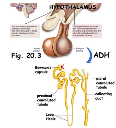 head injury and blood pressure and aldosterone release picture 21
