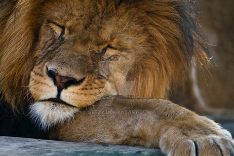 a lion was asleep picture 2