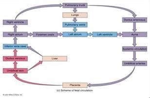 fetal circulation-human anatomy picture 14