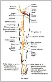 sciatic nerve related to erection in a male picture 5