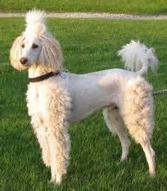 improve poodle coat hair picture 2