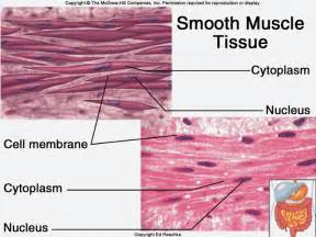 are smooth muscle multinucleated and spindled picture 6