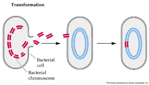 bacterial transformation cohan method picture 10