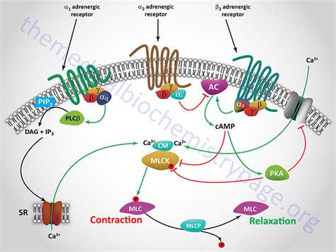 alpha receptors and skeletal muscle picture 14