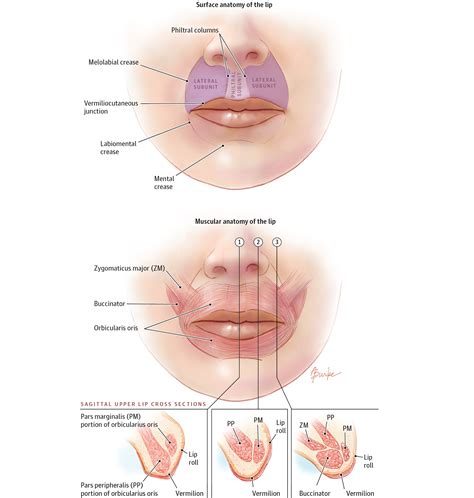 facial anatomy lips picture 17