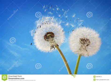 dandelion allergy picture 6