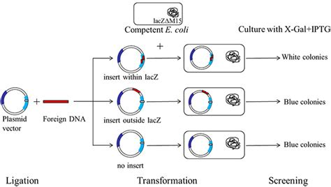 bacterial transformation method picture 6