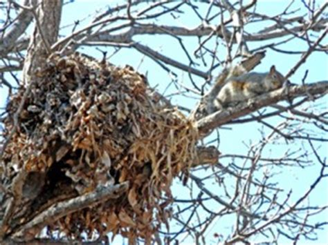 does a racoon sleep in a tree picture 8