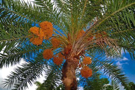 acai palm florida picture 13
