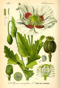 plants with opium like effects picture 10