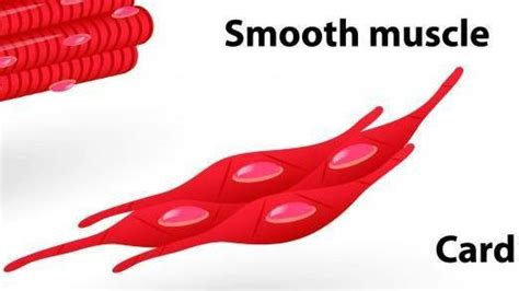 anchorman - ubulus muscle is connected to the picture 7