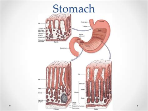 mucus lining stomach protectants picture 7