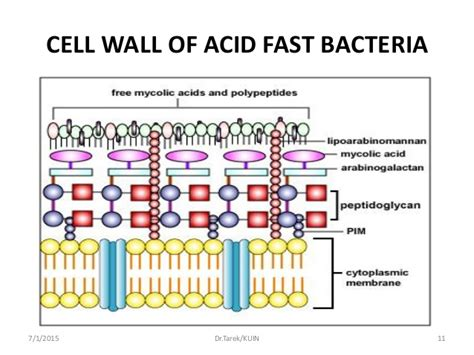 Bacterial cell walls picture 1