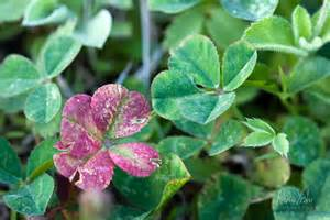 red clover leaf picture 19