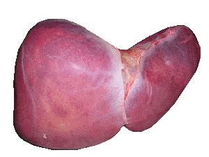 liver in a human body picture 3
