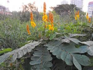 herbal medicine in cebuano picture 17