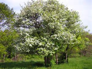 hawthorn picture 7