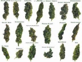 marijuana plant and how to smoke picture 15