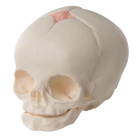 herbal cranium picture 18