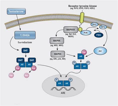 testosterone estrogen receptor picture 7