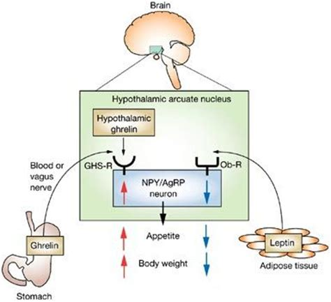 study of leptin in south india picture 1