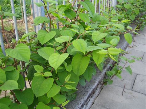 Japanese knot weed herbal picture 5
